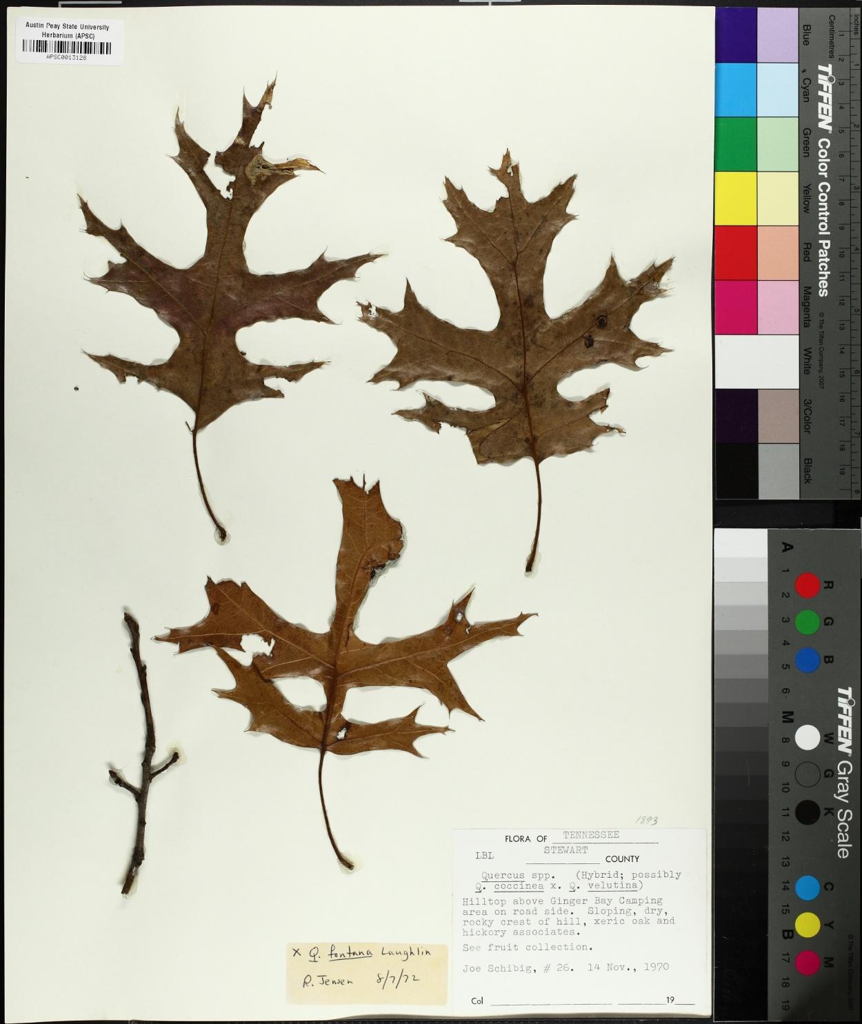 Quercus × fontana image