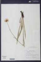 Helenium vernale image