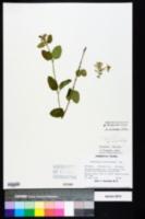 Image of Scutellaria altamaha