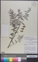 Image of Schinopsis quebracho-colorado