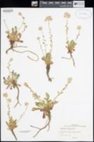 Calyptridium monospermum image