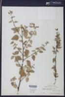 Melochia tomentosa image