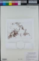 Juncus hemiendytus var. hemiendytus image
