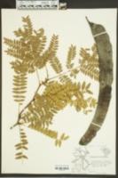 Gleditsia triacanthos image