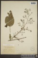 Scrophularia marilandica image
