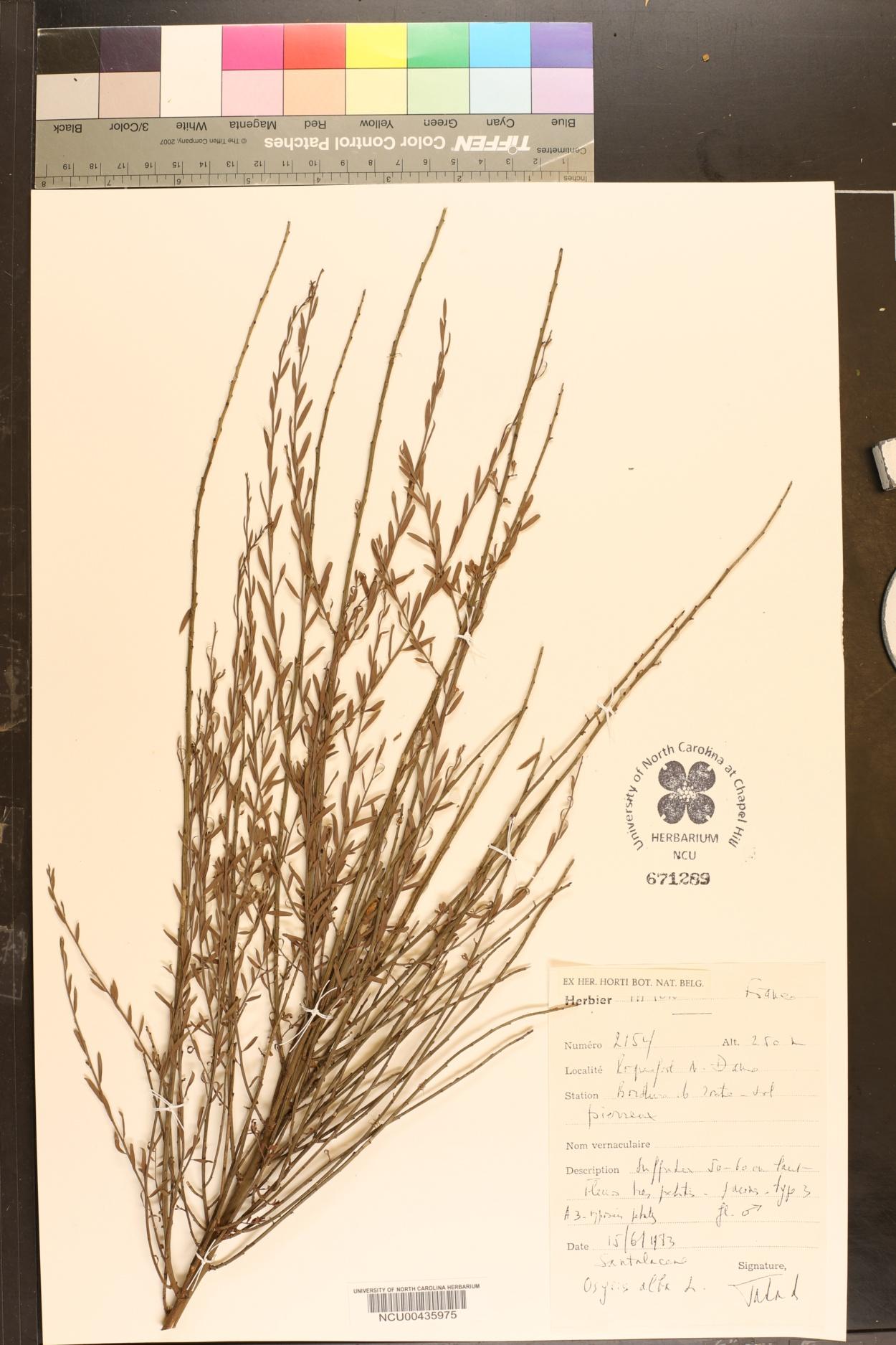 Osyris alba image