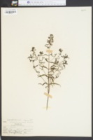 Image of Melampyrum americanum