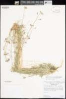 Boechera xylopoda image