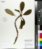 Euphorbia leuconeura image