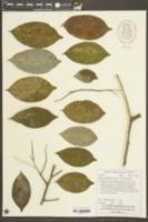 Image of Aquilaria sinensis