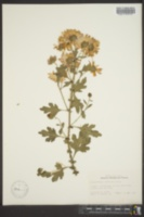Chrysanthemum morifolium image