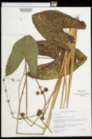 Sagittaria australis image