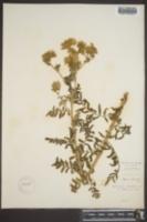 Phacelia ivesiana image