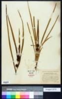 Image of Sparganium diversifolium