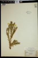 Image of Lycopodium linifolium