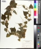 Image of Dioscorea floridana
