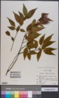 Image of Symplocos lancifolia