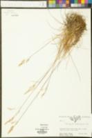 Calamagrostis deschampsioides image