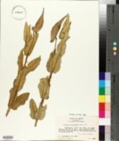 Image of Asclepias contrayerba