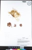 Claytonia exigua image
