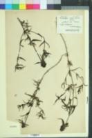 Image of Melampyrum cristatum