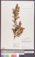 Image of Purshia plicata