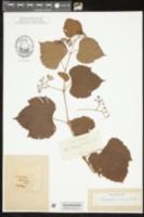 Image of Ampelopsis aconitifolia