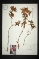 Image of Rhododendron groenlandicum