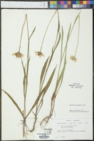 Helenium drummondii image