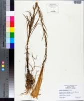 Image of Lilium formosanum
