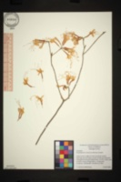 Image of Rhododendron canescens