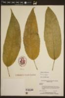 Image of Pavonia multiflora