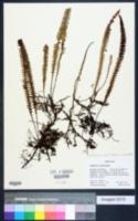 Image of Grammitis moniliformis