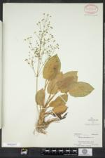 Alisma subcordatum image