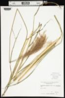 Miscanthus sinensis var. variegatus image