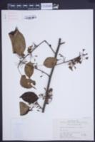 Euptelea pleiosperma image