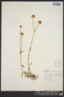 Image of Erigeron alpinus