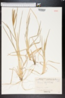 Chloris neglecta image