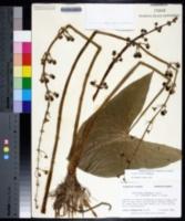 Sagittaria latifolia image