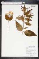 Jasminum multiflorum image
