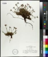 Erinus alpinus image