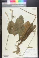 Image of Solanum persicifolium