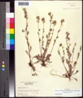 Image of Phacelia maculata