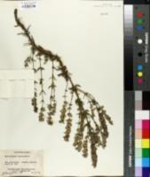 Dracocephalum ruyschiana image