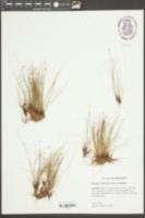 Eleocharis baldwinii image