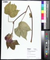 Image of Gossypium herbaceum