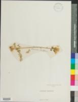 Image of Polemonium acutiflorum