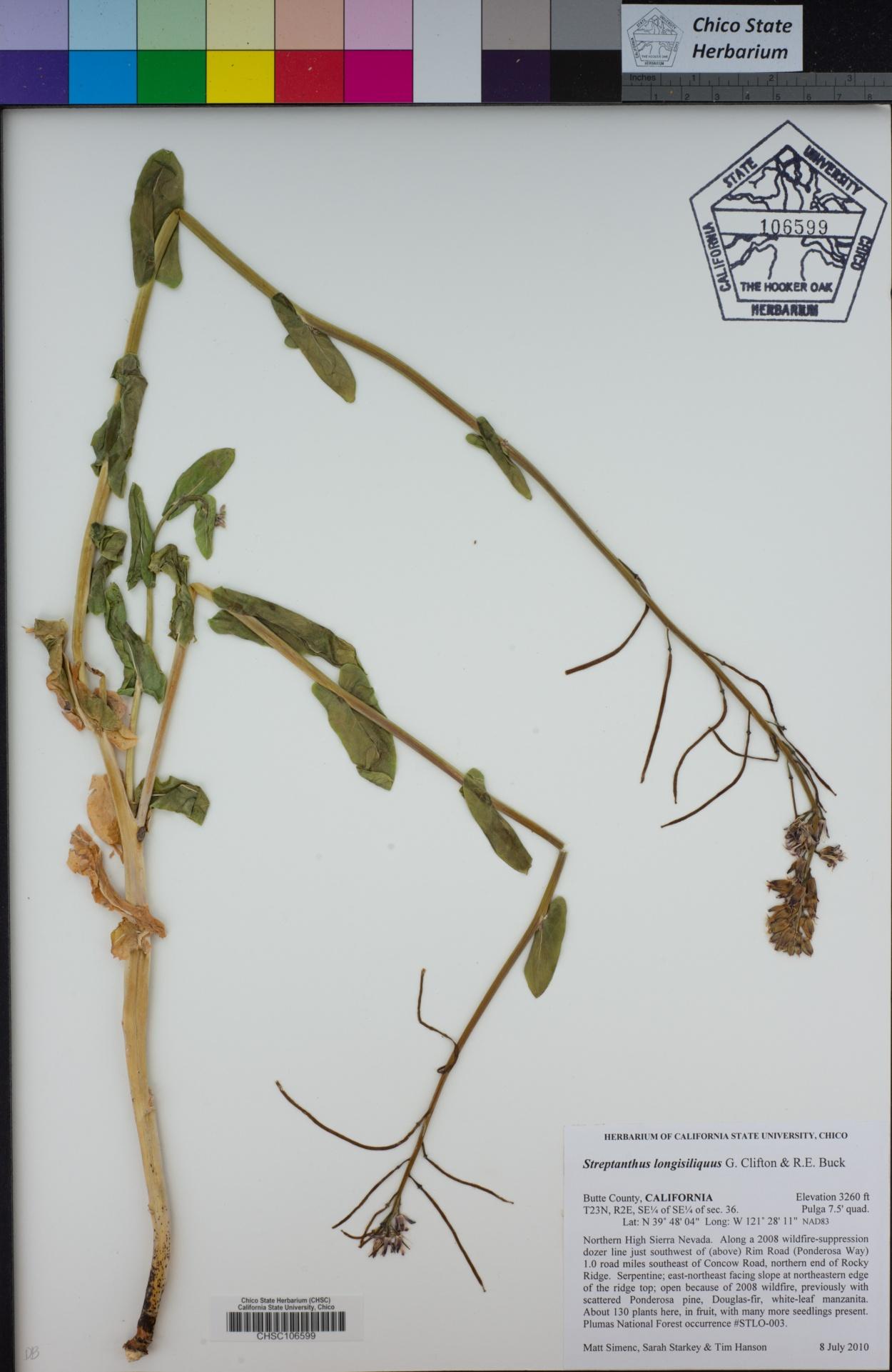 Streptanthus longisiliquus image