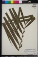 Image of Roystonea oleracea