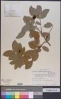 Image of Bunchosia biocellata